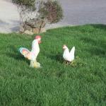 Gallo e Gallina - Da adottare