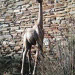 Giraffa - Presepe di Stintino